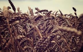 Picture wheat, field, the sky, nature, spikelets, ears, fields, sky macro, spike