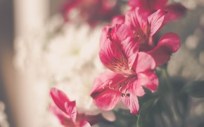 Wallpaper flowers, pink, petals
