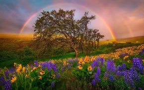 Picture the sky, flowers, hills, glade, rainbow, USA, Washington, National Park, lupins, DC
