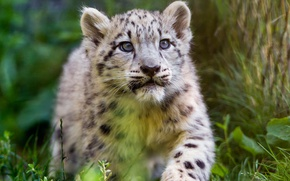 Picture grass, look, face, cats, kitty, tree, portrait, baby, snow leopard, walk, bars, wild cats, cub, …