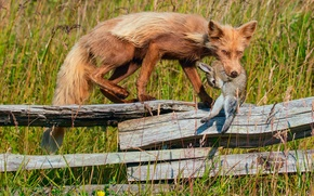 Picture grass, the fence, hare, Fox, mining