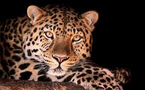 Picture leopard, looks, Magnificent leopard