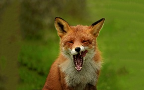 Picture nature, mouth, Fox, Fox
