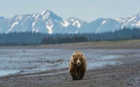 Picture beach, mountains, bear, bear, Alaska