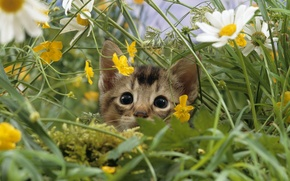 Picture cat, grass, macro, nature, kitty, glade, chamomile, meadow