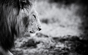 Picture animal, Leo, black and white, animals, lion