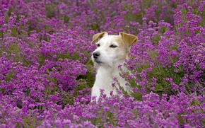 Picture field, flowers, dog