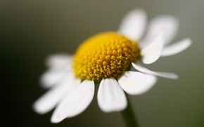 Picture flower, Daisy, large, one