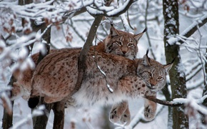Picture cat, National Park Bavarian forest, snow, winter, Germany, trees, lynx vulgaris, Eurasian lynx, branches