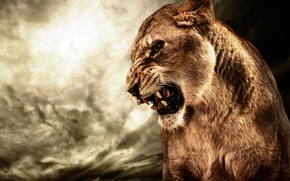 Picture cat, animal, anger, HDR, Lioness, roar