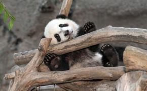 Picture bear, zoo, panda, san diego