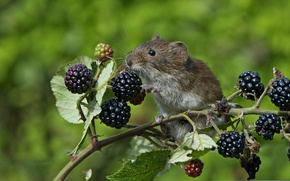 Picture berries, branch, mouse, mouse, vole