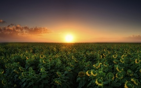 Picture field, sunflowers, landscape, sunset