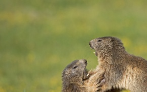 Picture a couple, showdown, rodents, marmots, Who's the boss?, Alpine marmots