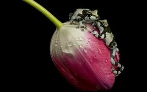 Picture tulip, ampgibians, amazon milk frogs
