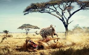 Picture Zebra, Leo, Africa, 158