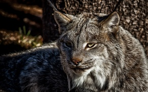 Picture cat, predator, lynx