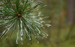 Picture forest, macro, plant, morning, after the rain, pine