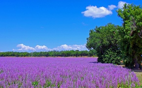 Picture road, field, trees, flowers, France, meadow, lavender, plantation