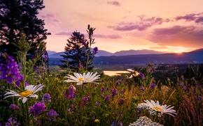 Picture chamomile, Canada, wildflowers, Lupin, British Columbia, sunset in the Kootenays, Kootenay National Park