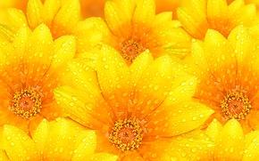 Wallpaper flowers, petals, water, texture, Rosa, drops