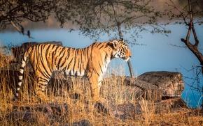 Picture nature, predator, Tiger, stand