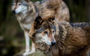Picture predators, wolves, wildlife