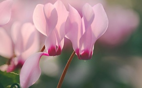 Picture macro, flowers, blurry, cyclamen, cyclamen, Wallpaper from lolita777, pale pink