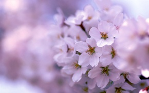 Picture tree, lilac, spring, flowering
