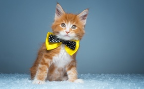 Picture butterfly, kitty, ginger kitten, Maine Coon