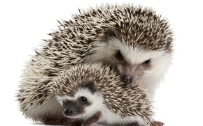 Picture needles, family, hedgehog