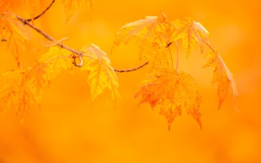 Picture autumn, leaves, macro, background, branch, maple