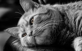 Picture cat, reverie, black and white