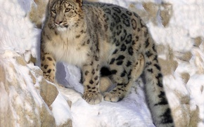 Picture cat, rock, IRBIS, wild, hishnik