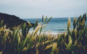 Picture summer, beach, sea, England, seaside, wheat, Cornwall, cove
