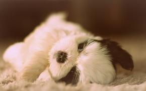 Picture dog, Shih Tzu, puppy, baby
