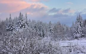 Picture winter, forest, snow, ate, Canada, Canada, Newfoundland, Newfoundland