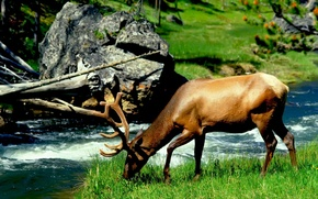 Wallpaper different, zhyvotnyh, moose, river
