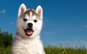 Picture grass, puppy, husky, husky