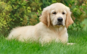 Picture grass, puppy, Retriever