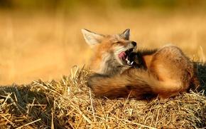 Wallpaper stay, Fox, nature, hay, straw, sleep
