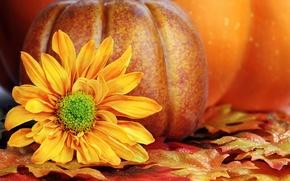 Picture autumn, flower, leaves, yellow, petals, pumpkin
