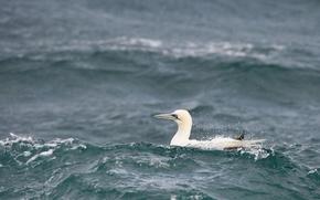 Picture waves, sea, bird, wildlife, gannet
