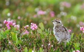 Picture Canada, chick, British Columbia, white-tailed eagle