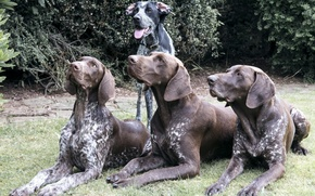 Picture dogs, group, brown
