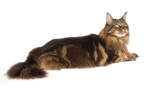 Picture cat, cat, white background, Maine Coon