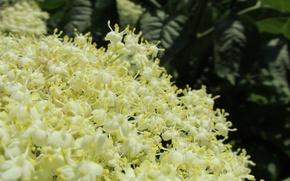Picture spring, beautiful, blooms, Elder