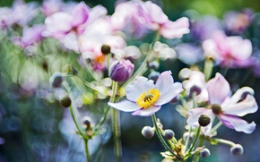 Wallpaper macro, light, flowers, glare, focus, blur, anemones