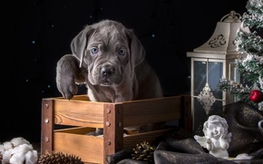 Picture holiday, paw, spruce, angel, lantern, puppy, box, cane Corso