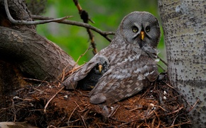 Picture birds, owl, chick, Great Gray Owl